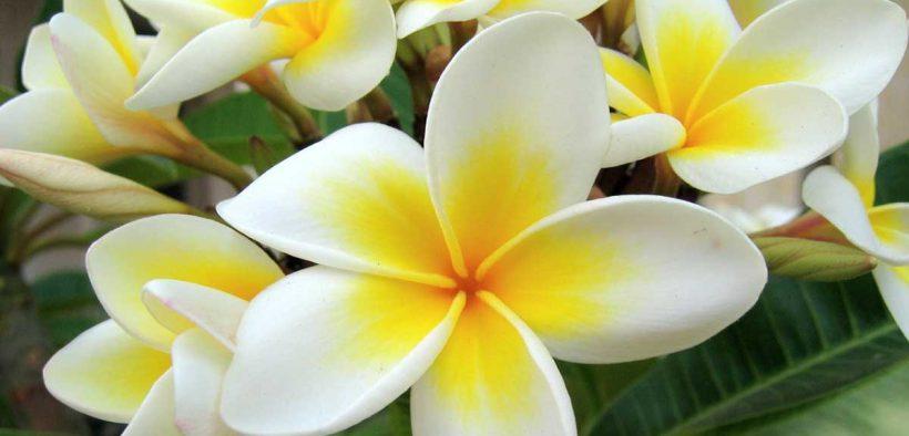 Flor de Jasmim