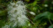 Melaleuca planta medicina, erva aromática